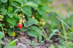 Strawberry bush grow in garden. Bush of strawberries with berries. Close-Up Royalty Free Stock Photos