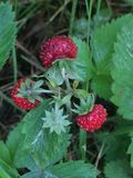 Strawberry bush growing in the forest. Stolbtsy / Belarus - july 01, 2017 - Strawberry bush growing in the forest, Minsk region stock photos