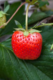 Strawberry bush growing in the garden Stock Photography