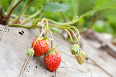 Strawberry bush growing in the garden Stock Photos
