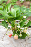 Strawberry bush growing in the garden Royalty Free Stock Photography