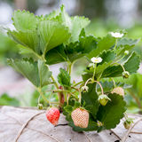 Strawberry bush growing in the garden Stock Image
