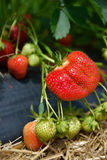 Strawberry bush growing in the garden Royalty Free Stock Images