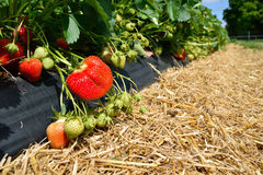strawberry bush growing in the garden Royalty Free Stock Photo