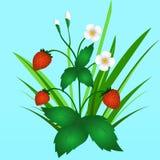 Strawberry bush, illustration Royalty Free Stock Photography