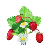 Strawberry bush on isolated background Royalty Free Stock Photo
