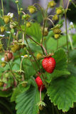 Strawberry bush with red berries and leaves Stock Photography