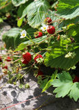Strawberry bush with red berries and leaves Royalty Free Stock Images