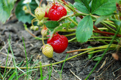 Strawberry on the bush Stock Photo