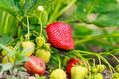 Strawberry bush. Red and green strawberry plant on the ground Royalty Free Stock Photo