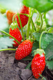Strawberry bush Stock Images