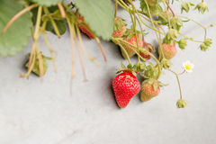 Strawberry on bush waiting to be picked. Ripe Strawberry in strawberry patch at Farm Stock Photos