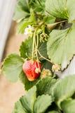 Strawberry on bush waiting to be picked. Ripe Strawberry in strawberry patch at Farm Royalty Free Stock Photo
