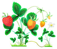 Strawberry bushes with berries and flower stock illustration