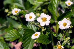 Strawberry bushes in bloom in the garden. Stock Photo