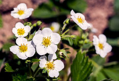 Strawberry bushes in bloom in the garden. Stock Photography