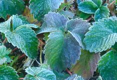 Strawberry bushes covered with frost. Frozen green leaves. The sharp cold. Stock Photography