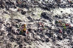Strawberry bushes on wet garden bed in winter. Strawberry bushes on wet garden bed in sunny winter day Stock Photography