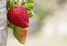 Strawberry Close up Royalty Free Stock Photo