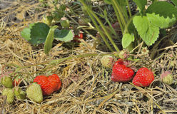 Strawberry 7 Royalty Free Stock Photos