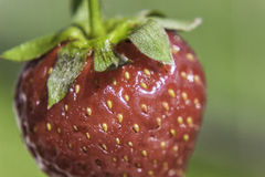 Strawberry Close up Stock Photography