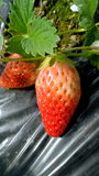 Strawberry in the closed farm Stock Photography
