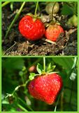 Strawberry collage Royalty Free Stock Photos