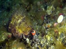 Strawberry conch eye Strombus luhuanus look at you with `eyes` Indonesia,. Lembeh stock video footage