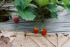 Strawberry  It is consumed in large quantities, either fresh or in such prepared foods as preserves, juice, pies, ice creams, milk royalty free stock image