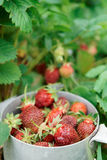 Strawberry crop Stock Images
