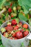 Strawberry crop Stock Photos