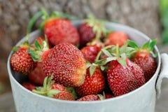 Strawberry crop Royalty Free Stock Photos