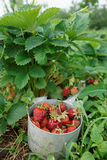 Strawberry crop Stock Photos
