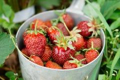 Strawberry crop Stock Image