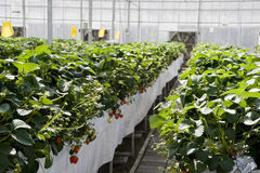 Strawberry cultivation in greenhouses. Royalty Free Stock Photos