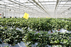 Strawberry cultivation in greenhouses. Stock Images