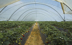 Strawberry cultivation in Huelva II Royalty Free Stock Image