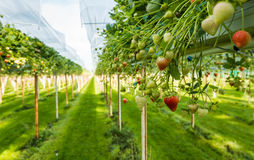 Strawberry cultivation outdoors Stock Photography