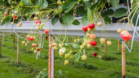 Strawberry cultivation outdoors Stock Photos