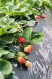 Strawberry cultivation Stock Photography