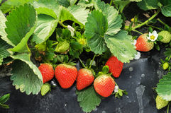 Strawberry cultivation Stock Photos