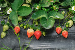 Strawberry cultivation Stock Photo