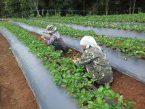 Strawberry. Cultivation vegetable strawberry Stock Photos