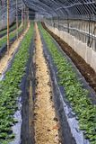 Strawberry culture. Perspective in a strawberry culture glasshouse Royalty Free Stock Photos