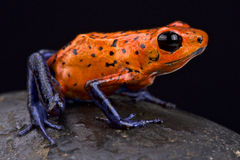 Strawberry dart frog (Oophaga pumilio) Stock Images