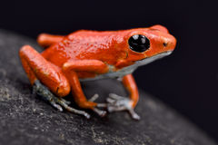 Strawberry dart frog, Oophaga pumilio. The Strawberry dart frog, Oophaga pumilio, is a poisonous dart frog species found in Central America Royalty Free Stock Photos