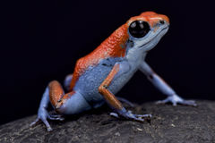 Strawberry dart frog, Oophaga pumilio. The Strawberry dart frog, Oophaga pumilio `Escudo` is a highly variable dart frog species found in Central America. The Stock Photo