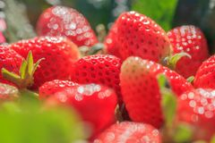 Strawberry with dew. Strawberry fruits with morning dew on the highest mountain in Thailand royalty free stock images
