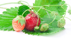 Strawberry of different extent. Of maturing on one bush lies on leaves Royalty Free Stock Photography