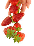 Strawberry falls on women's hands Royalty Free Stock Images